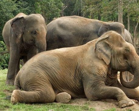 22502 ilustrasi kawanan gajah thailand 1